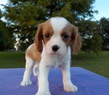 Cavalier King Charles Spaniel Puppies for Sale Image eClassifieds4u 3