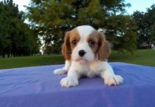 Cavalier King Charles Spaniel Puppies for Sale Image eClassifieds4u 1