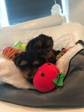 Male and female yorkie puppies.