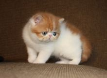Calico persian kittens available