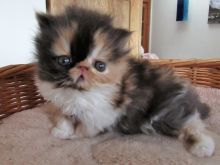 Calico persian kittens available Image eClassifieds4u 4