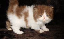 Calico persian kittens available Image eClassifieds4u 3