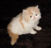 Calico persian kittens available Image eClassifieds4u 2