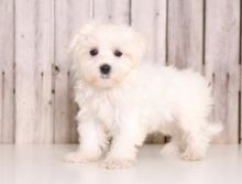 Adorable outstanding Maltese puppies for pet loving homes