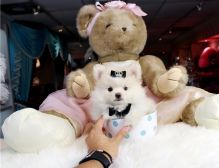 Amazingly stunning Teacup Pomeranian Puppies Availabe For New Homes