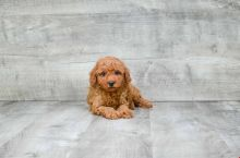 GORGEOUS TOY POODLE PUPPIES FOR GREAT HOMES