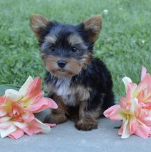 Two Angelic Teacup Yorkie Puppies In Need Of A New Family ###@@@##