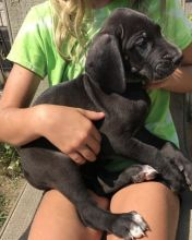 Energetic Great Dane Puppies Ready For Adoption
