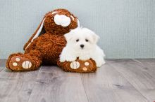 Adorable Outstanding Maltese Puppies Available
