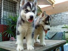HOME RAISED MALE AND FEMALE SIBERIAN HUSKY PUPPIES FOR NEW HOMES