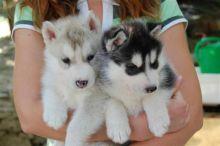 Siberian Husky Quebec Quebec Dogs & P...