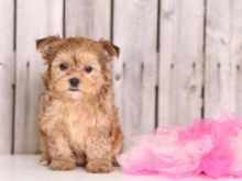 🏡 Charismatic ☮ Male ☮ Female ☮ Morkie ☮ Puppies For Re-Homing 🏡 Image eClassifieds4u 1