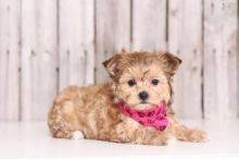 🏡 Charismatic ☮ Male ☮ Female ☮ Morkie ☮ Puppies For Re-Homing 🏡 Image eClassifieds4u 2
