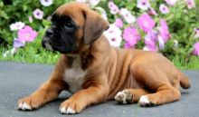 !Beautiful Boxer Pups For Sale.Text on 204-817-5731