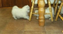 Male and Female Samoyed Pups Ready To Go Now.Text on 204-817-5731