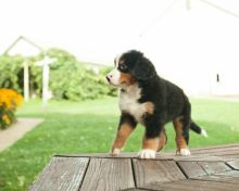 ONLY 2 LEFT NOW**Full Bred Bernese Mountain Puppies for sale.Text on 204-817-5731