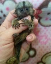 Gorgeous Finger Marmoset Monkey's 4 adoption text/call(832) 940-7995