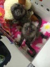 Gorgeous Finger Marmoset Monkey's 4 adoption text/call(832) 940-7995 Image eClassifieds4u 2
