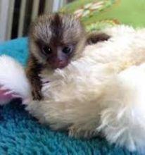 Gorgeous Finger Marmoset Monkey's 4 adoption text/call(832) 940-7995 Image eClassifieds4u 3