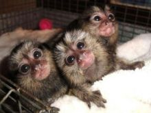 3 month old Finger Marmoset Monkeys