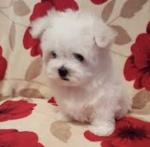 Male and female Maltese puppies for pet lovers.