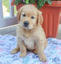 Get Your🎄Christmas🎄Puppies Now!!!🎄🎄Golden Retriever Puppies For Christmas🎄🎄