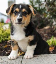 🎅🎅 Astounding 🐕Pembroke Welsh Corgi Puppies 🐕 For Adoption 🎅🎅