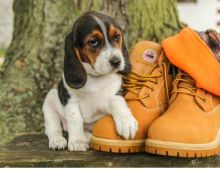 🎅🎅 Fabulous 🎄 Beagle Puppies 🐕 For Re-Homing 🎅🎅