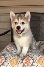 🎅🎅 Angelic 🐕 Christmas 🎄 Pomsky Puppies 🐕 Ready For 🎄 Home Adoption 🎅🎅