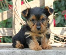 London Teacup Yorkie : Dogs, Puppies for Sale Classifieds at