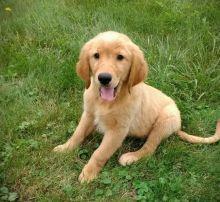 🎄🎄 Fantastic 🎅 Golden Retrievers 🐕 Puppies for Adoption 🎄🎄