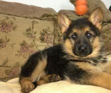 🎅🎅 Smart Ckc 🐕 German Shepherd 🐕 Puppies For Adoption 🎅🎅
