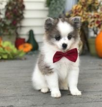 🎅🎅 Charming 🎄 Ckc Pomeranian 🐕 Puppies 🎅🎅 Image eClassifieds4U