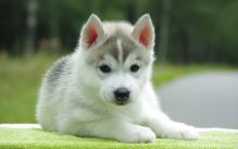Looking for pomsky puppy