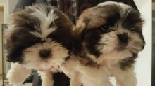 Magnificent Shih Tzu Puppies Available