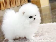 Adorable Princess, Ice White Pomeranian Available!
