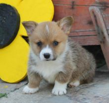 Welsh corgi puppies for adoption into a new home