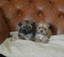 Pedigree Lhasa Apso Puppies Pls text me at (732) 290-5130