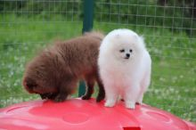 Priceless White Pomeranian Puppy For sale this Christmas