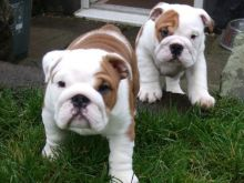 Adorable English Bulldog Puppies for Christmas Image eClassifieds4u 2