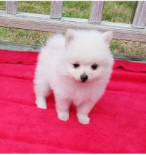 Priceless White Pomeranian Puppy For sale this Christmas Image eClassifieds4u 2