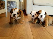 Gorgeous french and English bulldog puppies