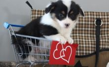 Healthy C.K.C Pembroke Welsh Corgy Puppies Now Ready For Adoption