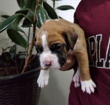 Boxer Puppies Kc Reg humble