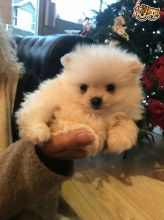 Gorgeous Pomeranian Cream Boy and Girl Available