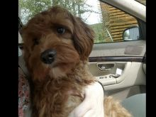 Looking for a Cavapoo text us 940-905-4583 or email helenleonden @ gmail.com