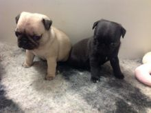Pug Puppies Blue & Tan Carriers