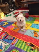 Stunning Coton De Tulear Puppies For Sale