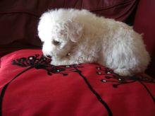 sweet Bichon Frise Puppies