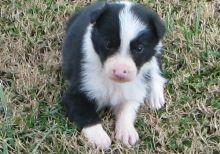 sweet Border Collie Puppies